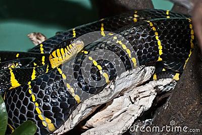 Mangrove Snake