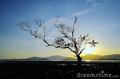 Mangrove in sunset