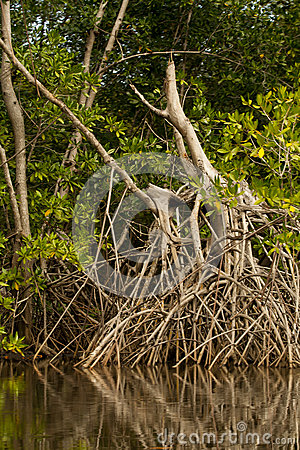 Mangrove Tree Root System