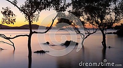 Mangrove trees at sunset
