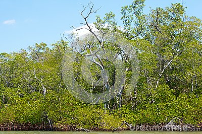 Mangroves and trees on canal