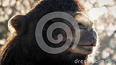 Manhã de Misty Breathing In The Cold do camelo filme