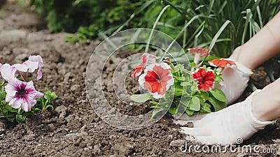 Mani della donna del giardiniere che piantano i fiori nel suolo