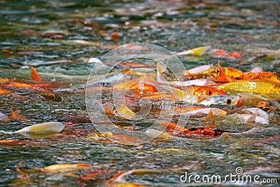 Mania furiosa giapponese di alimentazione di pesci di Koi