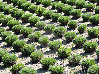 Manicured bushes in rows