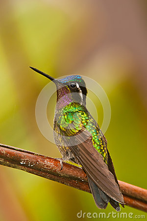 Manificent Hummingbird