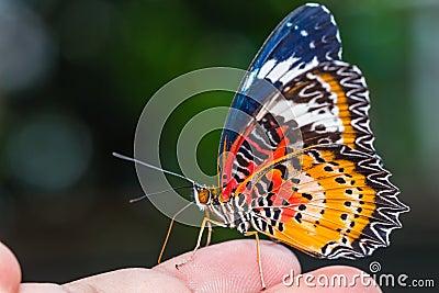 Manlig leopardlacewingfjäril