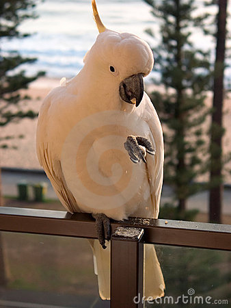 Manly Cockatoo front