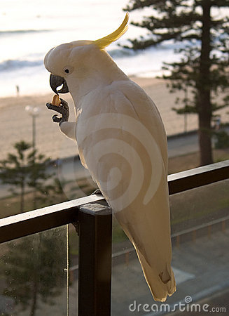 Manly Cockatoo left