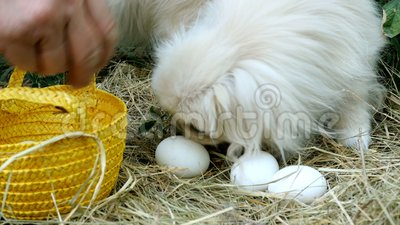 Mann mit seinen Händen sammeln weiße Eier im Stroh oder auf dem Hühnerrastplatz und falten es in einem Weidenkorb für Eier stock video