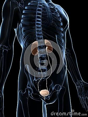 Mannelijke nieren
