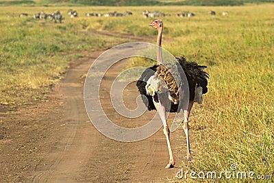 Mannelijke struisvogel die onderaan een straat lopen