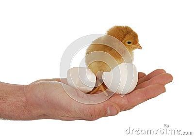 Mano que sostiene el polluelo recién nacido