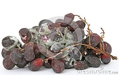 Manojo de uvas rojas mohosas
