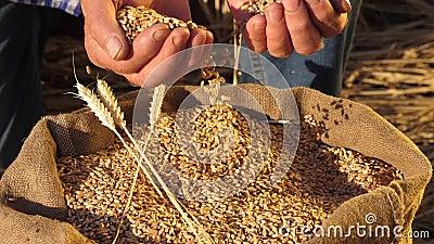 Manos de los agricultores vierten granos de trigo en una bolsa con orejas Cosecha de cereales Un agrónomo observa la calidad del  almacen de video