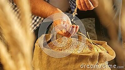 Manos de los agricultores vierten granos de trigo en una bolsa con orejas Cosecha de cereales Un agrónomo observa la calidad del  almacen de metraje de vídeo