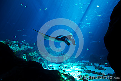 Manta ray in the deep blue ocean