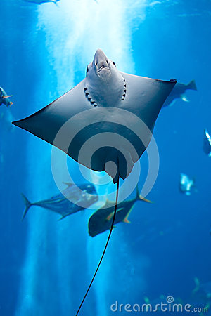 Free Manta Ray Floating Underwater Royalty Free Stock Photo - 25167485