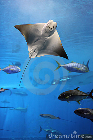 Free Manta Ray Flying Into A Swarm Of Other Fish Royalty Free Stock Photos - 10095978