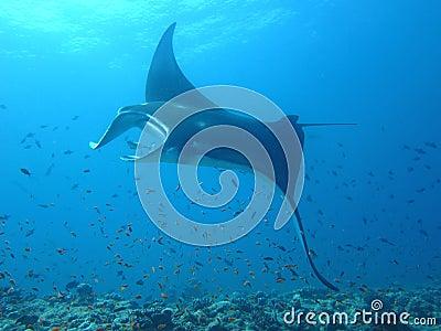 Manta ray of maldive