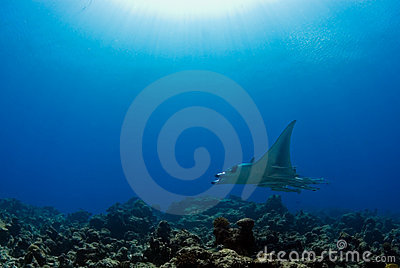 Manta ray on reef