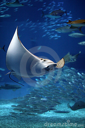 Free Manta Ray Seeming To Fly Underwater Royalty Free Stock Photography - 10678727