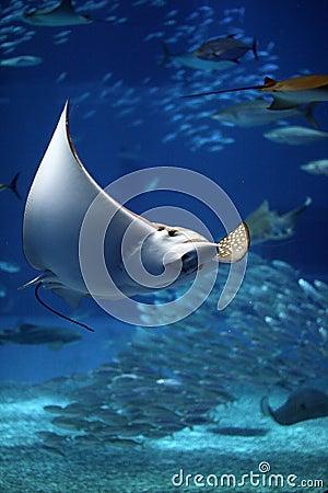 Free Manta Ray Seeming To Fly Underwater Royalty Free Stock Photography - 10678727