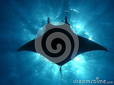 Manta ray sunburst