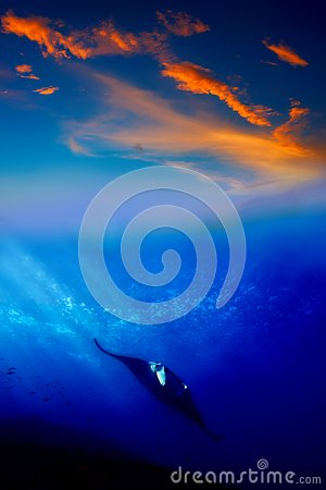 Manta Ray in the sunset