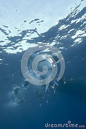 Manta Ray at the surface.