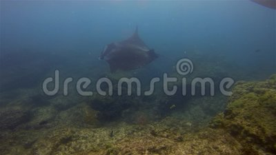 Manta Rays Feeding & Swimming Close Graceful Joyful Rays Cleaning in Blue Sea Water stock videobeelden