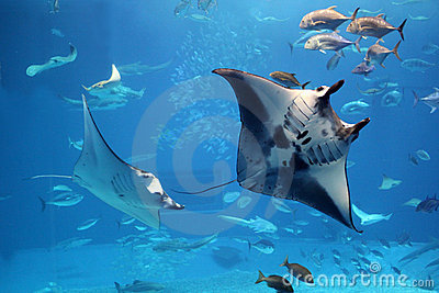 Manta rays flying into a swarm of other fish