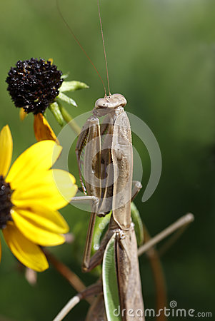 Mantid (Praying Mantis) Mantodea