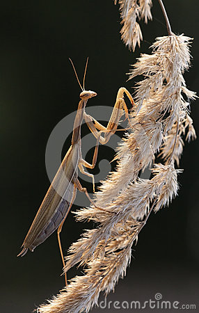 Mantis Royalty Free Stock Photography - Image: 24829277