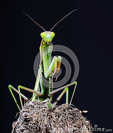 Free Mantis. Stock Image - 27050511
