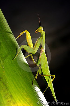 Free Mantis Stock Photography - 3588062