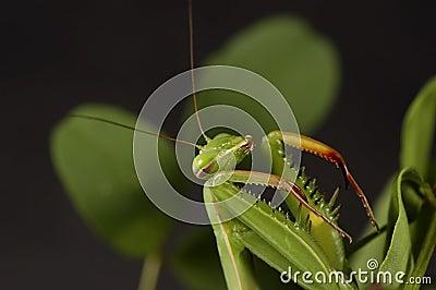 Mantis attaquant 3