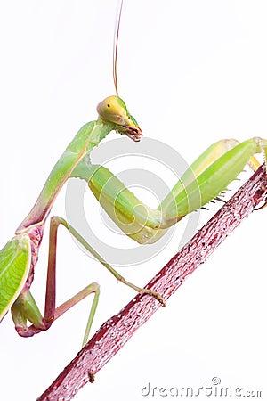 Free Mantis Climb Up Royalty Free Stock Photo - 11385065