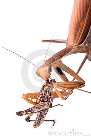 Mantis eat grasshopper