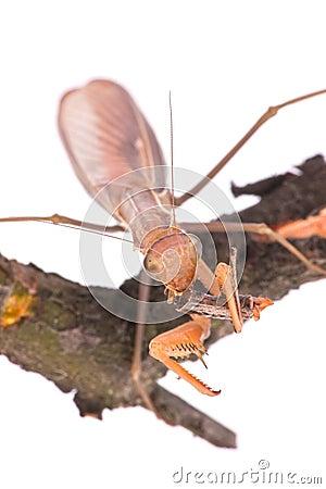 Mantis eat grasshopper