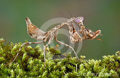 Mantis eating cricket