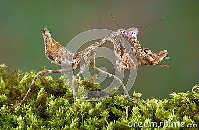 Mantis eating cricket