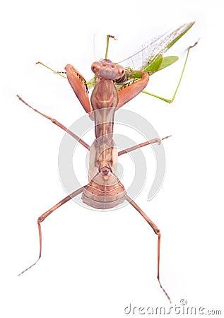 Mantis eats locust