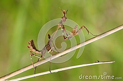 Mantis (empusa fasciata)