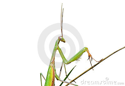 Mantis on grass 7