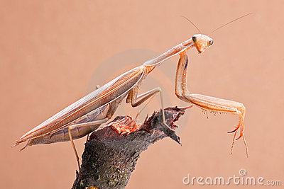Mantis insects closeup