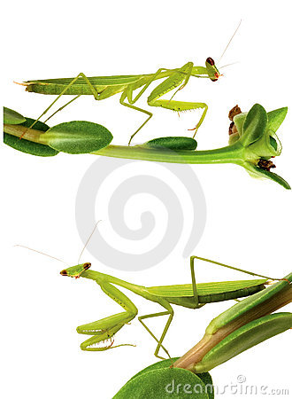 Mantis isolated on white