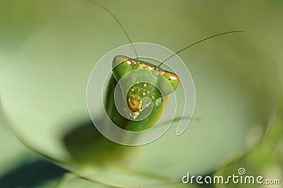 Mantis looking
