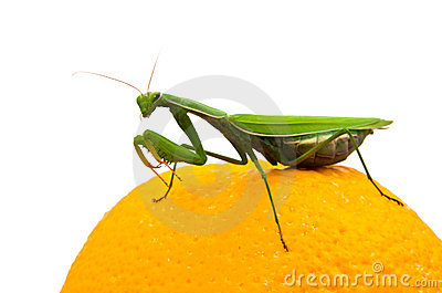 Mantis on orange