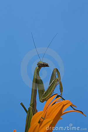 Mantis on Orange Daisy